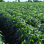 Soybeans Rows in Maryland